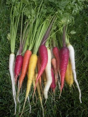 growing-heirloom-carrots